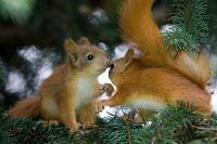 SYP KissingSquirrels 6