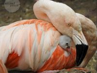 Flamingo chick 2 Maria