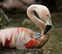 Flamingo chick 2 Mike