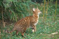 A Bengalk ID16013